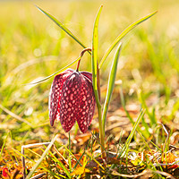 Buy canvas prints of Marsh tulip on the Ljubljana marshes by Ian Middleton