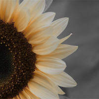 Buy canvas prints of Sunflower by Jean-François Dupuis