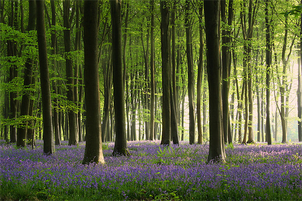Bluebell wood in Micheldever Canvas print by Aviation Prints