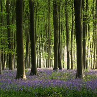 Buy canvas prints of Bluebell wood in Micheldever by Aviation Prints