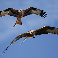 Buy canvas prints of Red Kites Soaring by Oxon Images