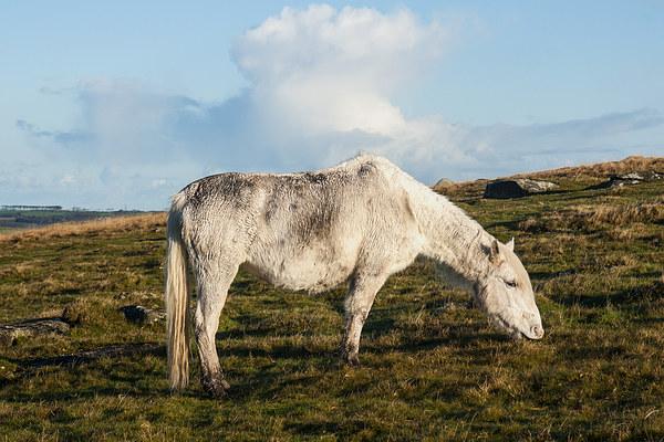 Bodmin Moor Pony Canvas print by David Wilkins