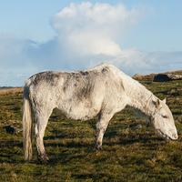 Buy canvas prints of Bodmin Moor Pony by David Wilkins