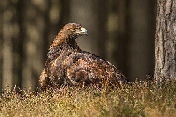 Golden Eagle Canvas print by David Hare