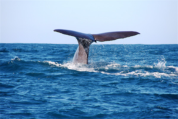 Diving Whale Canvas print by Phil Swindin