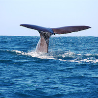 Buy canvas prints of Diving Whale by Phil Swindin