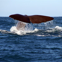 Buy canvas prints of Diving Whale 1 by Phil Swindin