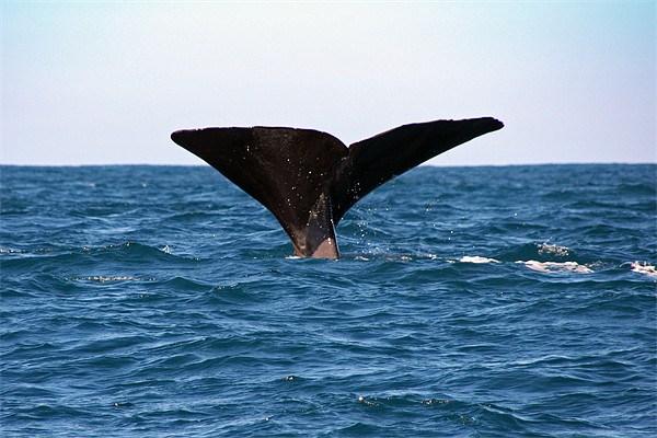 Diving Whale 3 Canvas print by Phil Swindin