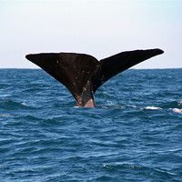 Buy canvas prints of Diving Whale 3 by Phil Swindin