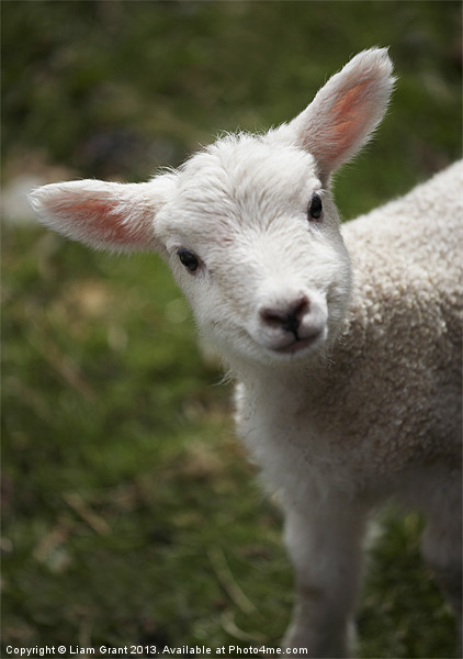 Young Spring Lamb. Lake District, Cumbria, UK. Canvas print by Liam Grant