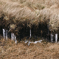 Buy canvas prints of Frozen icicles among the peat and moorland grass.  by Liam Grant