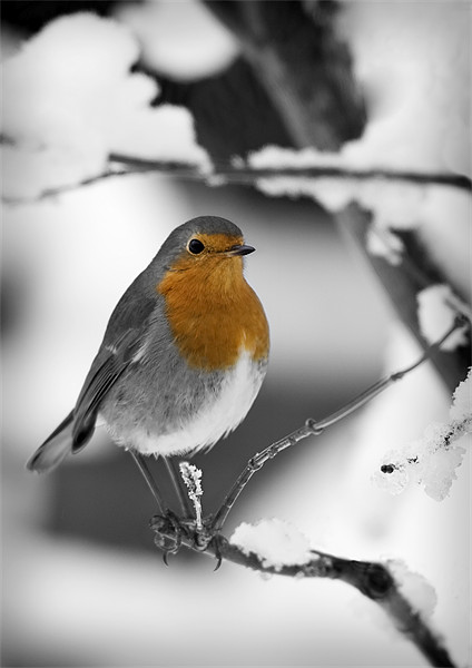 ROBIN IN THE SNOW (1) Canvas print by Anthony R Dudley (LRPS)