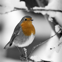 Buy canvas prints of ROBIN IN THE SNOW (1) by Anthony R Dudley (LRPS)