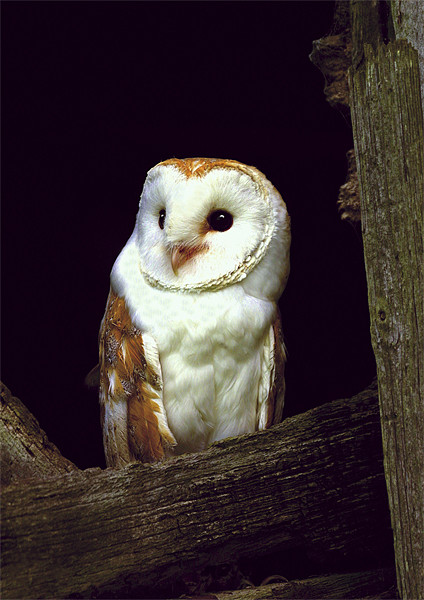 BARN OWL IN BARN Canvas print by Anthony R Dudley (LRPS)