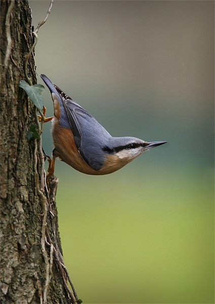 NUTHATCH Framed Print by Anthony R Dudley (LRPS)