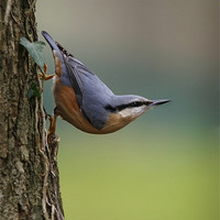 Buy canvas prints of NUTHATCH by Anthony R Dudley (LRPS)