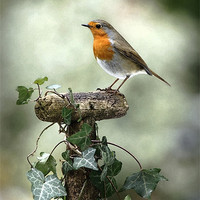 Buy canvas prints of ROBIN by Anthony R Dudley (LRPS)