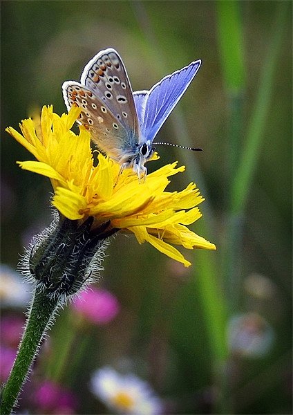 COMMON BLUE BUTTERFLY Canvas print by Anthony R Dudley (LRPS)
