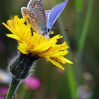Buy canvas prints of COMMON BLUE BUTTERFLY by Anthony R Dudley (LRPS)