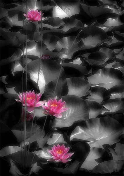 RED WATER LILIES Print by Anthony R Dudley (LRPS)