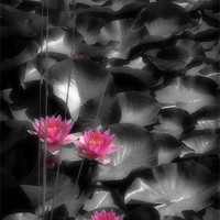 Buy canvas prints of RED WATER LILIES by Anthony R Dudley (LRPS)