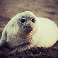 Buy canvas prints of Seal Pup by Simon Wrigglesworth