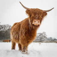 Buy canvas prints of Horny cow by Simon Wrigglesworth