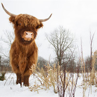 Buy canvas prints of Highland Cow by Simon Wrigglesworth