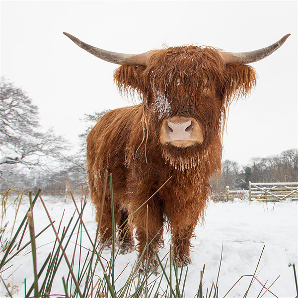 HIghland Cow Canvas print by Simon Wrigglesworth