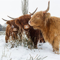 Buy canvas prints of Highland Cattle by Simon Wrigglesworth