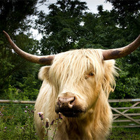 Buy canvas prints of Horny highland Cow by Simon Wrigglesworth