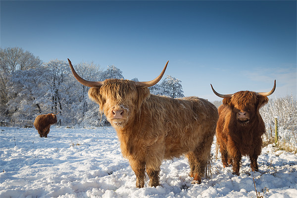 Highland cattle in the snow Canvas print by Simon Wrigglesworth
