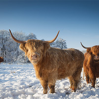 Buy canvas prints of Highland cattle in the snow by Simon Wrigglesworth