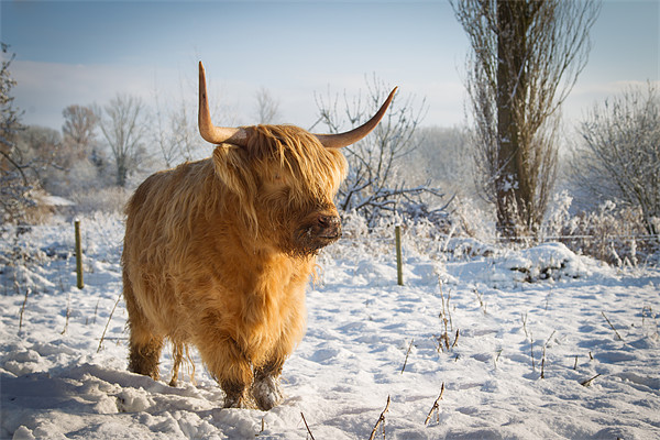 Highland Cow in the snow Canvas Print by Simon Wrigglesworth