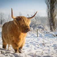 Buy canvas prints of Highland Cow in the snow by Simon Wrigglesworth