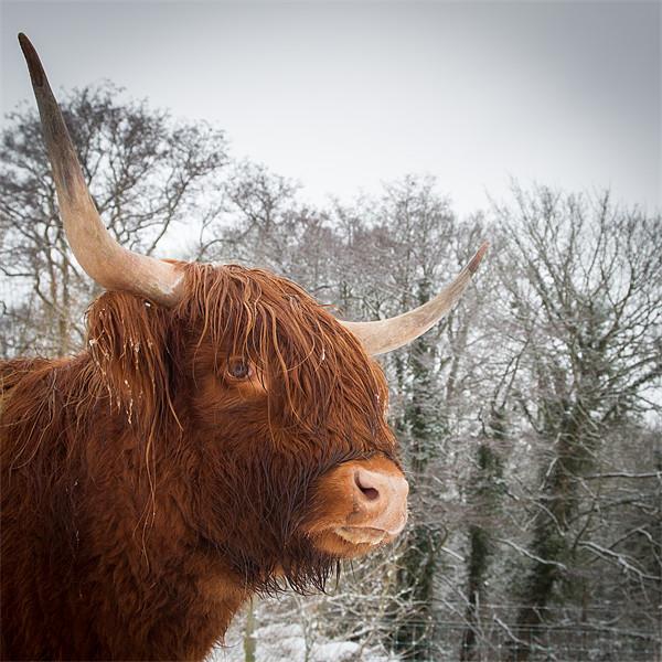 Highland Cow Canvas Print by Simon Wrigglesworth