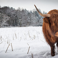Buy canvas prints of Highland cow in snow by Simon Wrigglesworth