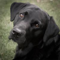 Buy canvas prints of Black Labrador - Harry by Simon Wrigglesworth