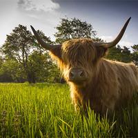 Buy canvas prints of Highland Coo by Simon Wrigglesworth