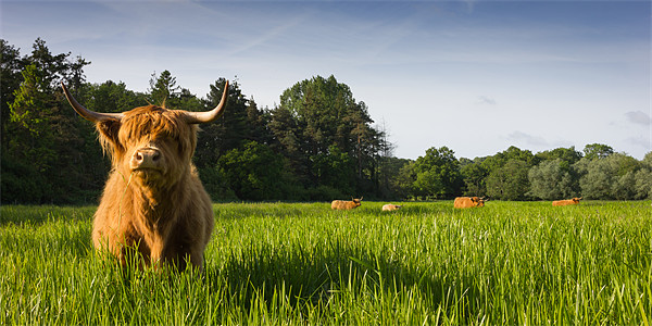 Highland Cows Canvas print by Simon Wrigglesworth