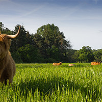 Buy canvas prints of Highland Cows by Simon Wrigglesworth