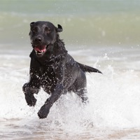 Buy canvas prints of Black Labrador in the sea by Simon Wrigglesworth