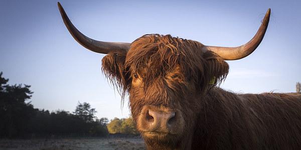 Highland cow portrait Canvas print by Simon Wrigglesworth