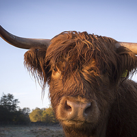 Buy canvas prints of Highland cow portrait by Simon Wrigglesworth