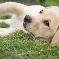 Buy canvas prints of  Hey You - Labrador Puppy by Simon Wrigglesworth