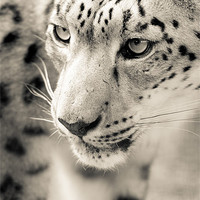 Buy canvas prints of Snowy by Simon Wrigglesworth