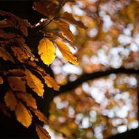 Buy canvas prints of Autumn gold by Simon Wrigglesworth