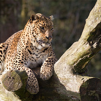 Buy canvas prints of Leopard Life by Simon Wrigglesworth