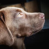 Buy canvas prints of Chocolate Labrador  by Simon Wrigglesworth