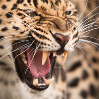 Buy canvas prints of The Snarler - Amur Leopard by Simon Wrigglesworth